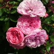 Розы Корал Бордер