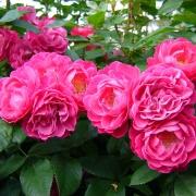 Розы Бордюр Магента