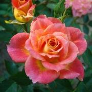 Розы Мандарин