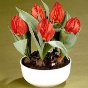 Тюльпаны Ред Парадиз