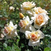 Розы Жан-Пьер Фуко