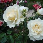 Розы Жозе Каррерас