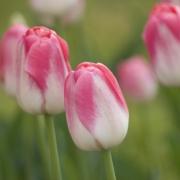 Тюльпаны Дримлэнд