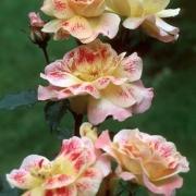 Розы Шампань Коктейль