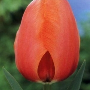 Тюльпаны Эприкот Импрешн