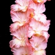 Гладиолусы Розовый Рай