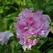 Розы Миссис Дорин Пайк