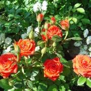 Розы Оранж Джевел