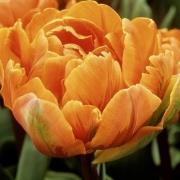 Тюльпаны Оранж Нассау