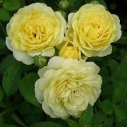 Розы Карте д'Ор