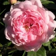 Розы Эллен