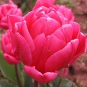 Тюльпаны Квин оф Марвел