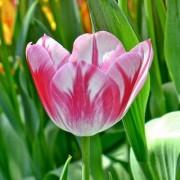 Тюльпаны Карамба