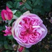 Розы Жардинс де Вилс Маисонс