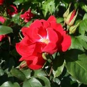 Розы Олала
