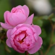 Розы Скайларк