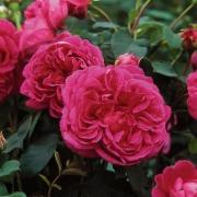 Розы Леди оф Меггинч