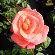 Розы Шоган