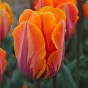 Тюльпаны Оранж Рококо