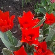 Тюльпаны Роб Верлинден