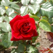 Розы Гартензаубер