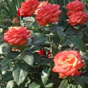 Розы Квейкер Стар