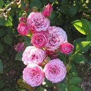 Розы Бебифлор
