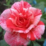 Розы Филателия