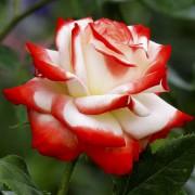 Розы Императрица Фарах