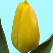 Тюльпаны Йеллоу Флайт