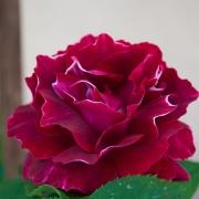 Розы Барон Жиро де Лен