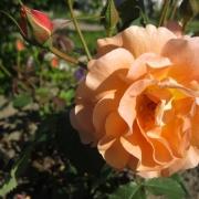 Розы Вестерланд