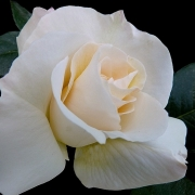 Розы Гранд Норд