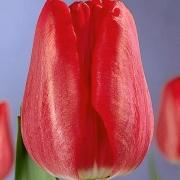 Тюльпаны Ред Гандер