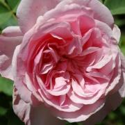 Розы Хайд Холл