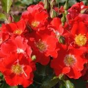 Розы Пасо Добль
