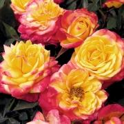 Розы Флейм Меилландина