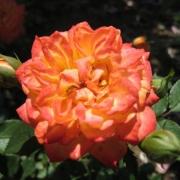 Розы Беби Маскарад