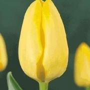 Тюльпаны Макассар