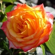 Розы Конфетти