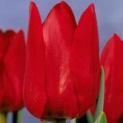 Тюльпаны Бастон
