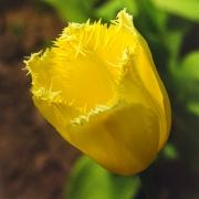 Тюльпаны Майя