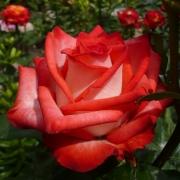 Розы Блаш
