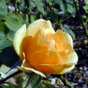 Розы Бенита