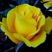 Розы Голден Холштейн