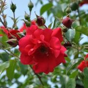 Розы Традишн 95