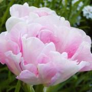 Тюльпаны Анжелика