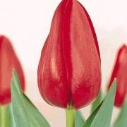 Тюльпаны Самсон