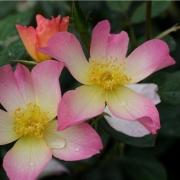 Розы Александра Роуз