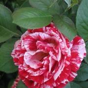 Розы Кэнди Страйп